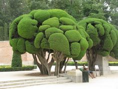 Sculptured Cypress Trees.  Retiro Park, Spain