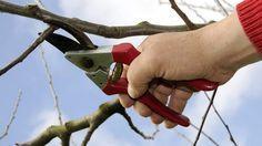 Mit dem Obstbaumschnitt sollte man im Frühjahr nicht zu lange warten. (Quelle: imago/Arco Images)