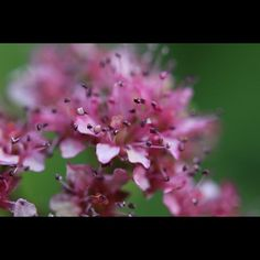I Liked this Instagram: I hacked my old Canon 35-80mm into a macro lens and I'm pretty stoked with the results! It will take some practice but I am getting some amazing shots like this #spirea bloom.  #pink #flower #macro #depthoffield #canon #canonrebelsl1 by seeker127