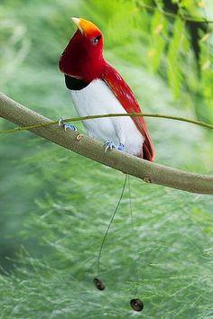 . King Bird of Paradise