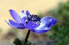 Květina, Pestík, Makro, Fialová