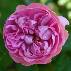 My new Austins - summer blooms [image heavy] - Rose Gallery Forum ...