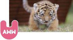 Cute Siberian Tiger Cubs from Hungary Cute Tiger Cubs, Cute Tigers, Baby Tigers, Cute Baby Animals, Wild Animals, Siberian Tiger, Cute Gif, More Cute, Hungary