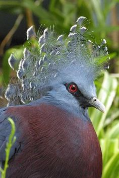 The Victoria Crowned Pigeon is one of the tallest pigeons at 29 inches.  In the wild, it is only found in New Guinea and some smaller offshore islands nearby.