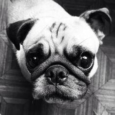 Como resistir a este charme canino? #pompeulicious #pugsofinstagram #pug #dogsofinstagram #pet #petsofinstagram #cute by pompeupug