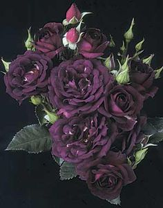 Midnight Blue - bare root rose