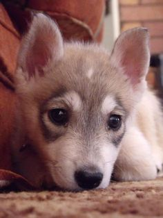 Pictures of Native American Indian Dog Dog Breed. Now why the hell cant I find any?!