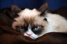 grumpy cat wallpaper | Related Post To Grumpy Cat HD Desktop Wallpaper