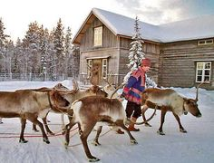 Levin Lapinkyla reindeer farm  Lapland/Finland  photo by kittila journal