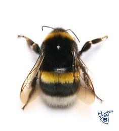 Hommel verwant aan bijen