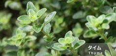 タイム:日当たりがよく通気性のよい環境を好み、一年を通して収穫を楽しめるハーブです。地植えすると2年目から木質化して高さ40㎝ほどに生長し、茎に小さな葉と淡いピンク色や白色の花をつけます。 一般にメディカルハーブとして利用されるコモンタイムのほかに、クリーピングタイム(ワイルドタイム)やレモンタイム、ラベンダータイム、シルバータイムなど様々な品種があります。 タイムにはチモールという成分が含まれており、ハーブの中でもナンバー1と言われるほど強い殺菌効果と抗ウイルス作用を備えています。