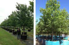 Fannin Shumard Red Oak. #landscaping