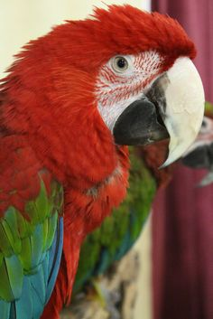 Taxidermy-hunting-chasse-präparat- Red-and-green Macaw with cites permit ring Green Wing Macaw, Toucan, Cockatiel, Bird Pictures, Taxidermy, Beautiful Birds, Hunting, Parrots, Red