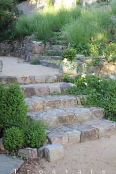 had a stone mason add formal wide steps to transition up to lavender hill. The color palette is simple and subdued…stone grays and gold fine, green, white and lavenders. Creeping strawberry is already sending runners across the lower steps as the erigeron (Santa Barbara daisy) had taken hold on the upper.
