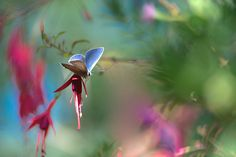 The fuchsia and the butterfly