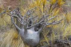Pachypodium rosulatum gracilis - Căutare Google