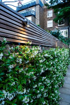 """Trachelospermum jasminoides in full flower.  One of my favourite evergreen and scented climbers which obligingly only protrudes about 30cm from its support."""