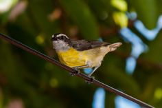 Foto cambacica (Coereba flaveola) por Evaldo HS Nascimento | Wiki Aves - A Enciclopédia das Aves do Brasil