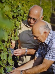 Agostino e Raffaele Guglierame brothers, working in the vineyards