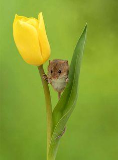 Flower beds - harvest mice sleep in tulip blossoms - storytrender, . - Flower beds – harvest mice sleep in tulip flowers – storytrender, beds - Cute Baby Animals, Animals And Pets, Funny Animals, Animals Images, Beautiful Creatures, Animals Beautiful, Harvest Mouse, Cute Mouse, Tier Fotos