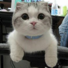 32 Best Scottish Fold Kitty Cats images