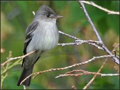 The Eastern Wood Pewee, Contopus virens, is a small tyrand flycatcher from North America.