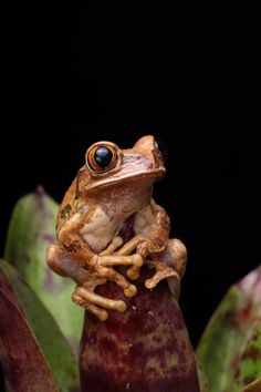 Marbled Tree Frog.