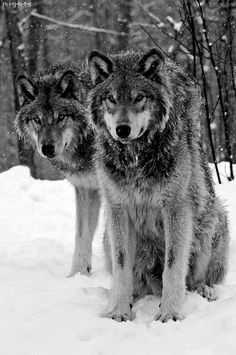 🐺If you Love Wolves, You Must Check The Link In Our Bio 🔥 Exclusive Wolf Related Products on Sale for a Limited Time Only! Tag a Wolf Lover! 📷:Please DM . No copyright infringement intended. All credit to the creators. Beautiful Creatures, Animals Beautiful, Cute Animals, Majestic Animals, Wild Animals, Wolf Spirit, My Spirit Animal, Tier Wolf, Wolf Pictures