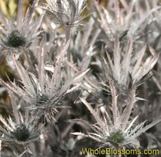 Wholesale Silver Thistle is popular during the holiday season with its bright, joyful disposition. Silver Eryngium for holiday centerpieces.