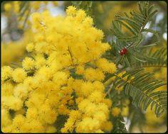 La mimosa en flor – Foto de OLGA TURÓN | LasdosCastillas.net