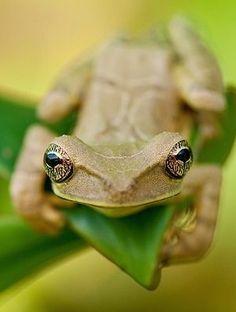 ˚Mocking Treefrog (Osteocephalus deridens) Napo, Ecuador by Lucas M. Bustamante @ flickr