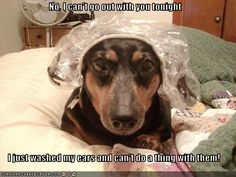 When a Dachshund doesn't want to do something, they won't. They are very stuburn !!!!