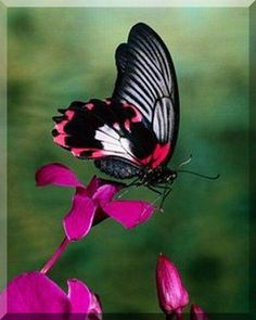 Pink and Black Beautiful Butterfly. Repinned by An Angel's Touch, LLC, d/b/a WCF Commercial Green Cleaning Co. Denver's Property Cleaning Specialists. http://www.angelsgreencleaning.net/Detailed-Cleaning-Services.html