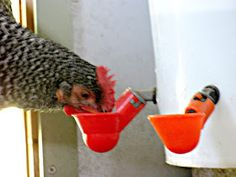 Natural Chicken Keeping: Comparison of Poultry Cup Drinkers