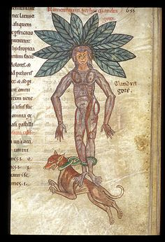 Mandrake chained to a dog. Medical miscellany of a pharmacopeial compilation, including a herbal and bestiary illustrating the pharmocopeial properties of animals (see Notes)  Netherlands, S. (Mosan region), or England?; 3rd quarter of the 12th century