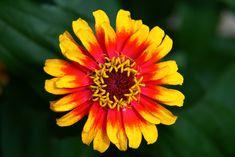 zinnia - hippie-flower