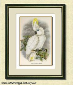 Global Gallery 'Blue-Eyed Cockatoo' by John Gould Framed Painting Print Size: Painting Frames, Painting Prints, Art Prints, Canvas Fabric, Canvas Art, Etiquette Vintage, John Gould, Cockatoo, Bird Art