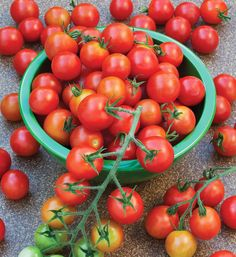 Super Sweet 100 Tomato features sweet, bite-sized tomatoes and great disease resistance. It's perfect for snacking, salads, or juicing. Find out more here.