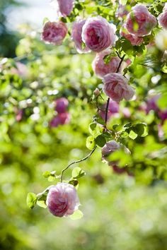 Antique Rose Garden