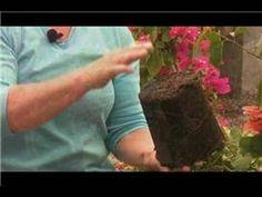 Bougainvillea Plant Care : Planting Bougainvilleas