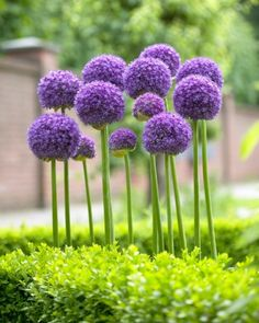 Allium Gladiator Bulbs- GORGEOUS!!!
