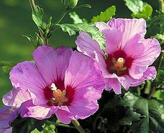 Rose of Sharon will help bring a bit of tropical beauty to more temperate climates. The blooms that arrive in late summer give your garden beauty as autumn draws, with the added bonus of being able to eat the flowers.  We have 1yr old plants grown from seed and they will need to spend their first winter inside and planted out in the spring.