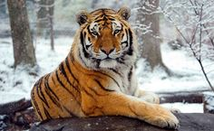 22 Reasons Why The Tiger Is The Most Interesting Animal In The World