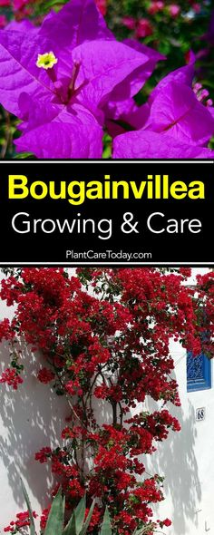 Bougainvillea has become a very popular plant. It's a great addition for a colorful patio or deck. Here's how to grow and care for them. Planting Flowers, Plants, Florida Gardening, Bougainvillea Care, Perennials, Garden Vines, Climbing Plants, Growing Flowers, Garden Care