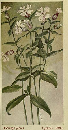 Lychnis alba, Field book of American wild flowers, 1912