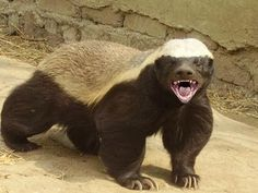 Honey Badgers: The Crazy Truth // this is hilarious do not watch this in a library or other quiet place like church