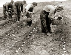 Potato planting circa 1940-50's, by U.S. Department of Agriculture