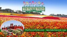Enter to win tickets to the Flower Fields in Carlsbad. #sandiego #utcontests #gorgeous #ranunculus