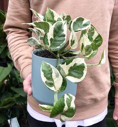 Variegated Devil's Ivy