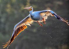White pelican - zoltán kovács - Google+